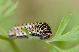Alex Wünsch Naturfotografie Schwalbenschwanz Papilio machaon Raupe