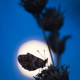 Alexandra Wünsch Alex Einblick Natur Naturfotografie GDT Tagfalter Schmetterling Vollmond Mondschein Mondlicht