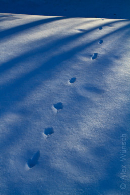 Alex Wünsch Naturfotografie Finnland Winter Schnee Fuchs Spur Nordkarelien
