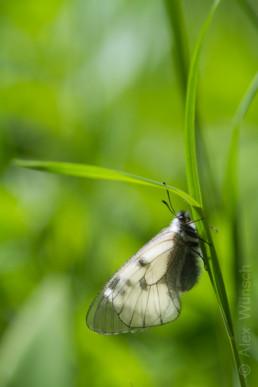Alex Wünsch Naturfotografie Schwarzer Apollo Parnassius mnemosyne Slowenien Triglav