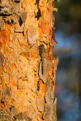Alex Wünsch Naturfotografie Nordkarelien Finnland Libelle