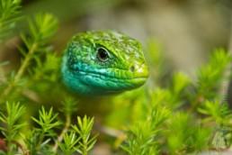 Alex Wünsch Naturfotografie Östliche Smaragdeidechse Lacerta viridis Slowenien