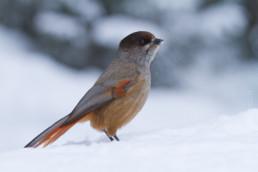 Alex Wünsch Naturfotografie Finnland Winter Schnee Unglückshäher Perisoreus infaustus