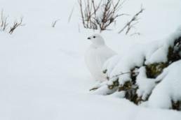 Alex Wünsch Naturfotografie Finnland Winter Schnee Schneehuhn Lagopus lagopus