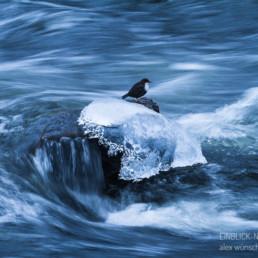 Alexandra Wünsch Alex Einblick Natur Naturfotografie GDT Fluß Wasseramsel Cinclus cinclus