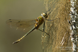 Alex Wünsch Naturfotografie Libelle Finnland
