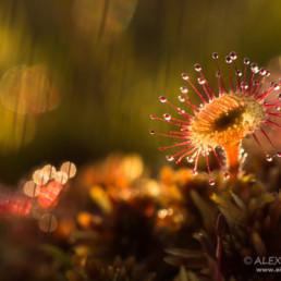 Alexandra Wünsch Alex Einblick Natur Wettbewerb GDT Naturfotografie luonto kuva kilpailu vaarallinen kauneus Sonnentau