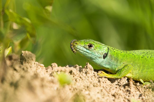 Alex Wünsch Naturfotografie Smaragdeidechse Marienkäfer Larve