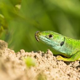Alexandra Wünsch Alex Einblick Natur Naturfotografie GDT Smaragdeidechse Larve