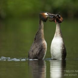 Alex Wünsch Alexandra Wünsch Einblick-Natur Fotografie Naturfotografie Frühling Balz Haubentaucher Podiceps cristatus Pinguin-Tanz Piguin Pose Hochzeitstanz