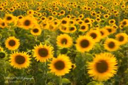 Alex Wünsch Alexandra Wünsch Einblick-Natur Fotografie Naturfotografie Sommer Sonnenblumen Feld Frankreich Provence