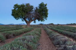 Alex Wünsch Alexandra Wünsch Einblick-Natur Fotografie Naturfotografie Sommer Lavendel Feld Frankreich Provence Olivenbaum