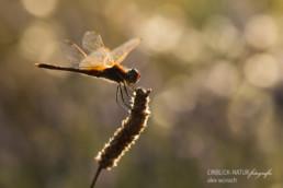 Alex Wünsch Alexandra Wünsch Einblick-Natur Fotografie Naturfotografie Sommer Frankreich Provence Libelle