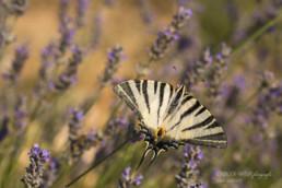 Alex Wünsch Alexandra Wünsch Einblick-Natur Fotografie Naturfotografie Sommer Lavendel Frankreich Provence Segelfalter Iphiclides podalirius