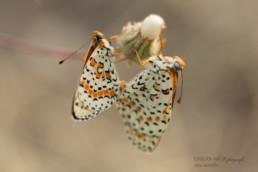 Alex Wünsch Alexandra Wünsch Einblick-Natur Fotografie Naturfotografie Sommer Frankreich Provence Roter Schekcenfalter Melitaea didyma Paarung Koppulation