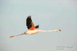 Alex Wünsch Alexandra Wünsch Einblick-Natur Fotografie Naturfotografie Sommer Frankreich Camargue Rosaflamingo Flamingo Phoenicopterus roseus Flug