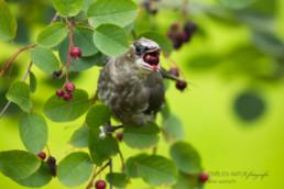 Alex Wünsch Naturfotografie einblick Natur Seidenschwanz junger Jungvogel Bombycilla garrulus