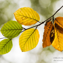 Alex Wünsch Naturfotografie einblick Natur Buchenblatt Buche Herbst