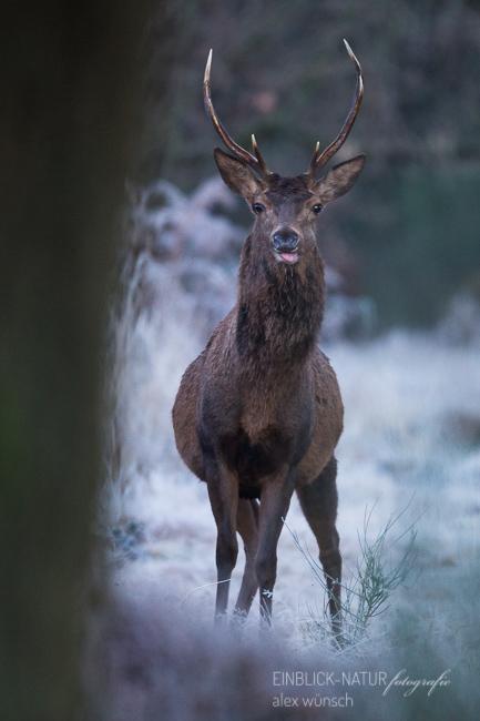 Alex Wünsch Naturfotografie Einblick-Natur Rothirsch Wahner Heide cervus elaphus