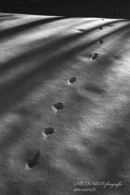 Alex Wünsch Alexandra Wünsch Einblick-Natur Fotografie Naturfotografie Tierspuren Fährte Rotfuchs Fuchs geschnürter Trab Trittsiegel