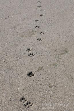 Alex Wünsch Alexandra Wünsch Einblick-Natur Fotografie Naturfotografie Spur Fährte Trittsiegel Rotfuchs vulpes