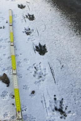 Alex Wünsch Alexandra Wünsch Einblick-Natur Fotografie Naturfotografie Spur Fährte Trittsiegel nutria myocastor coypus