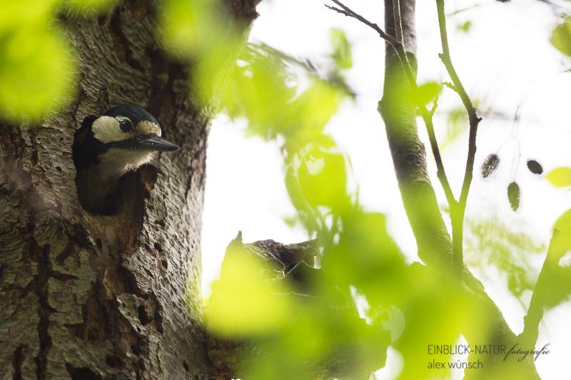 Einblick Natur Alexandra Wünsch Alex Naturfotografie Buntspecht Brut Dendrocopos major