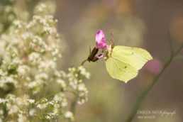 Alex Wünsch Alexandra Wünsch Einblick-Natur Fotografie Naturfotografie Sommer Mosel Zitronenfalter Gonepteryx rhamni