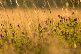 Alex Wünsch Alexandra Wünsch Einblick-Natur Fotografie Naturfotografie Sommer Mosel Schachbrettfalter Melanargie galathea