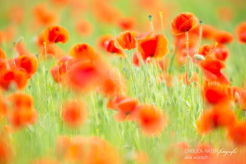 Alex Wünsch Alexandra Wünsch Einblick-Natur Fotografie Naturfotografie Sommer Klatschmohn Mohnblume Blume des Jahres 2017 Acker Straßenrand