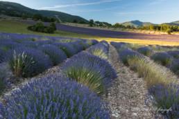 Alex Wünsch Alexandra Wünsch Einblick-Natur Fotografie Naturfotografie Sommer Lavendel Frankreich Provence