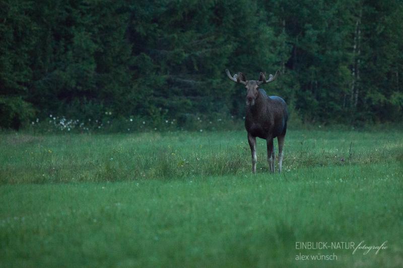 Alex Wünsch Alexandra Wünsch Einblick-Natur Fotografie Naturfotografie Sommer Finnland Elch Alces alces Wiese