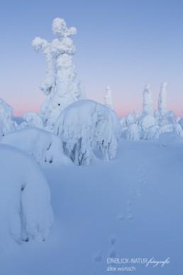 Alex Wünsch Alexandra Wünsch Einblick-Natur Fotografie Naturfotografie Winter Finnland Kuusamo Schnee Bäume Packschnee Schneehase Spur track mountain hare lepus timidus tykky