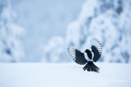 Alex Wünsch Alexandra Wünsch Einblick-Natur Fotografie Naturfotografie Winter Finnland Kuusamo Schnee Elster Pica pica