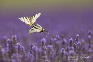 Alex Wünsch Naturfotografie Segelfalter Frankreich Iphiclides podalirius fliegen zwei