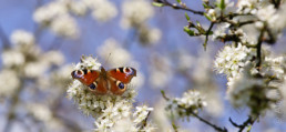 Alex Wünsch Tagpfauenauge Inachis Io Naturfotografie