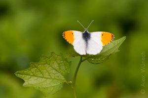 Alex Wünsch Naturfotografie Aurorafalter Anthocharis cardamines Männchen