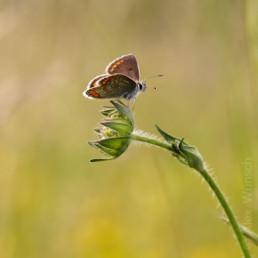 Alex Wünsch Naturfotografie Aricia agestis Dunkelbrauner Bläuling Kleiner Sonnenröschen Bläuling