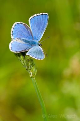 Alex Wünsch Naturfotografie Schmetterling Himmelblauer Bläuling Polyommatus bellargus Eifel
