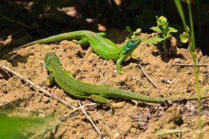 Alex Wünsch Naturfotografie Smaragdeichse Lacerta viridis