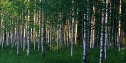 Alex Wünsch Naturfotografie Nordkarelien Finnland Birken