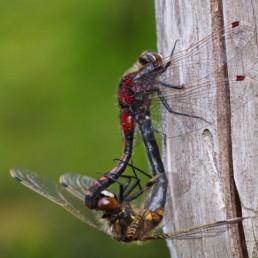 Alex Wünsch Naturfotografie Nordkarelien Finnland Nordische Moosjungfer Leucorrhinia rubicunda
