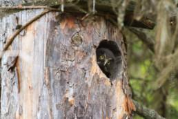 Alex Wünsch Naturfotografie Nordkarelien Finnland Raufußkauz Aegolius funereus