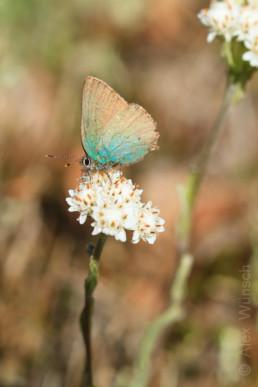 Alex Wünsch Naturfotografie Grüner Zipfelfalter Callophrys rubi Brombeer Zipfelfalter