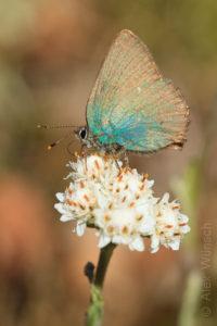 Alex Wünsch Naturfotografie Grüner Zipfelfalter Callophrys rubi Brombeer Zipfelfalter Finnland