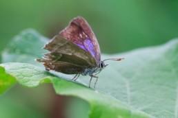 Alex Wünsch Naturfotografie Blauer Eichenzipfelfalter Neozephyrus quercus Weibchen