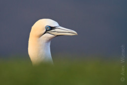 Alex Wünsch Naturfotografie Helgoland Vogelfelsen Basstölpel