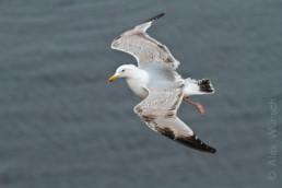 Alex Wünsch Naturfotografie Helgoland Vogelfelsen Möwe