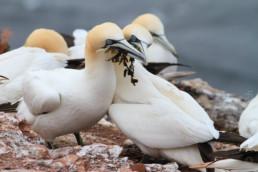 Alex Wünsch Naturfotografie Helgoland Vogelfelsen Basstölpel Lummen