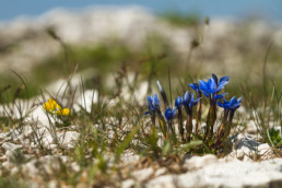 Alex Wünsch Naturfotografie Slowenien Enzian